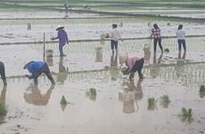 Khắc phục nắng nóng, nông dân Hải Dương ra đồng từ 3-4 giờ sáng