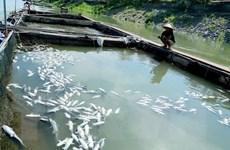 Phú Thọ: Cá lồng trên Sông Đà chết hàng loạt do xả lũ