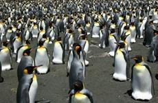 Số lượng chim cánh cụt vua lớn nhất thế giới giảm tới 90%