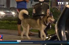 [Video] Khó xử lý tình trạng chó nuôi thả rông tại các khu dân cư