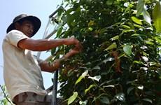 Giá hồ tiêu xuất khẩu giảm tới 62% khiến nông dân bị lỗ
