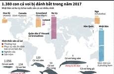[Infographics] 1.380 con cá voi bị đánh bắt trong năm 2017