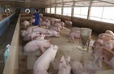 [Video] Việt Nam phát hiện và tiêu hủy 2 ổ dịch tả lợn châu Phi