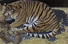 Hổ Siberia sinh hạ thành công 3 chú hổ con tại vườn thú Hannover