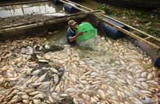 Đồng Nai: Mưa lớn, gần 1.000 tấn cá trên sông La Ngà chết hàng loạt