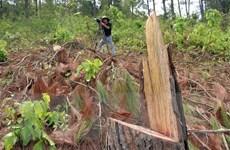Lâm Đồng làm rõ vụ phá rừng thông 50 tuổi theo phản ánh báo chí