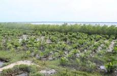 Quảng Trị trồng, phục hồi và bảo vệ trên 7.900ha rừng ven biển