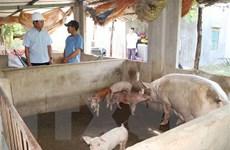 [Video] Hỗ trợ khách vay vốn bị thiệt hại bởi dịch tả lợn châu Phi