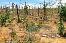 Quảng Ngãi: Cây Sacha Inchi chết hàng loạt do nắng nóng kéo dài