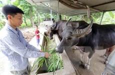 Khôi phục và phát triển chăn nuôi đại gia súc tại các tỉnh phía Bắc