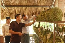 Tỉnh Tiền Giang công bố nhãn hiệu tập thể Sầu riêng Cai Lậy