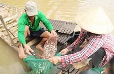 Đồng Tháp: Nguồn cung cá đồng khan hiếm, giá bán tăng tới 40%