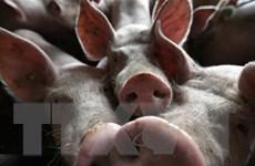 Dịch tả lợn châu Phi lan đến gần thủ đô Tokyo của Nhật Bản