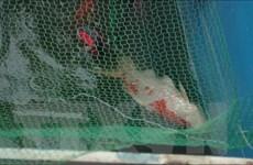 Cần nhìn nhận đúng về việc cá Koi chết sau khi thả ở sông Tô Lịch
