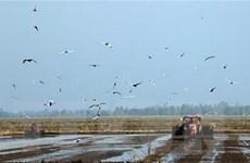 Đồng bằng sông Cửu Long xuống giống sớm vụ Đông Xuân để né hạn, mặn