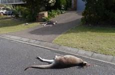Một thanh niên bị buộc tội vì lái xe đâm chết 20 con kangaroo