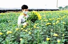 Hà Nội: Làng hoa Tây Tựu rộn ràng chuẩn bị mùa hoa Tết Canh Tý