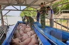 Bắt vụ vận chuyển trái phép gần 2 tấn lợn hơi từ Campuchia về Việt Nam