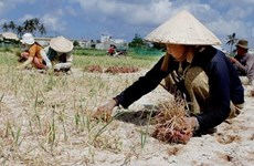 Quảng Ngãi: Áp lực từ đất thải nông nghiệp tại huyện đảo Lý Sơn