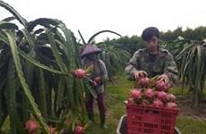 Thanh long trái vụ giảm mạnh, nông dân Bà Rịa-Vũng Tàu lỗ nặng