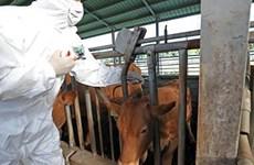 Hàn Quốc liên tiếp phát hiện kháng thể virus gây lở mồm long móng