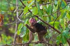 Yên Bái: Khỉ lạ vào nhà dân quậy phá, trèo lên bàn thờ lục đồ ăn