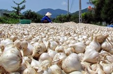 Tỏi Khánh Hòa được mùa và được giá, thương lái đến mua đều đặn