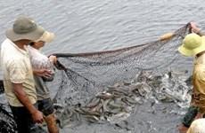 Ảnh hưởng dịch COVID-19 khiến giá cá lóc giảm mạnh, khó tìm đầu ra