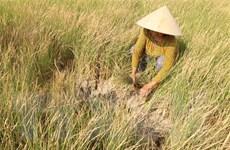Hàng chục nghìn ha lúa và hoa màu ở Cà Mau bị thiệt hại do hạn, mặn