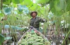 [Photo] Những cánh đồng sen ở Hà Nam vào mùa thu hoạch