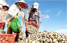Tiền Giang: Giá nghêu thương phẩm tăng mạnh, người nuôi có lãi khá
