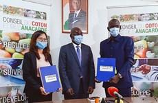 T&T Group thu mua toàn bộ sản lượng điều thô của Cote d'Ivoire