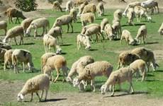 Thịt cừu Ninh Thuận - sản phẩm đặc sản được người tiêu dùng ưa chuộng