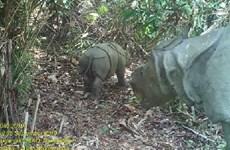 Phát hiện 2 cá thể tê giác Java quý hiếm tại Indonesia