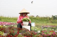 Thành phố Hồ Chí Minh: Nhà vườn thấp thỏm lo đầu ra hoa tết