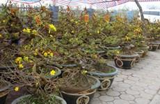 Bà Rịa-Vũng Tàu: Dịch vụ cho thuê hoa mai chơi tết đắt khách