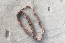Cứu sống hai bệnh nhân bị biến chứng nguy kịch do rắn độc cắn
