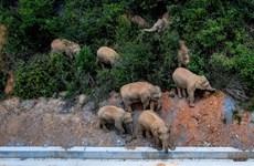 Trung Quốc: Đàn voi rừng di chuyển gần 500km về phương Bắc