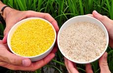 Philippines đi đầu trong sản xuất thương mại gạo vàng biến đổi gene
