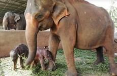 Sri Lanka: Voi sinh đôi hiếm gặp ở trại voi mồ côi lớn nhất thế giới