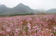 """[Photo] Ngỡ ngàng đào Nhật Tân """"nhuộm hồng"""" vùng cao Tây Bắc"""