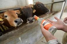 [Photo] Nông dân Trung Quốc cho bò uống bia và nghe nhạc
