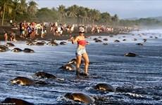 """[Photo] Rùa biển không kịp đẻ trứng vì bị du khách """"quấy rối"""""""