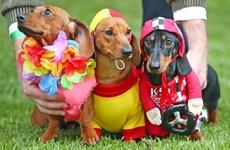 [Photo] Gay cấn cuộc thi tìm ra chú chó xúc xích mặc đẹp nhất