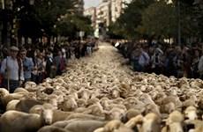 [Photo] 2.000 con cừu biểu tình ở Madrid đòi quyền di cư
