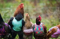 Lạ đời thiếu nữ đan áo len cho đàn gà giữ ấm vào mùa Đông