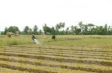 """[Video] Người trồng hành Sóc Trăng trăn trở về """"đầu ra"""" cho nông sản"""