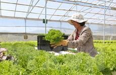 300.000 tấn rau xanh Đà Lạt sẵn sàng phục vụ thị trường Tết