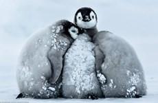 """Ngộ nghĩnh những chú chim cánh cụt """"ôm"""" nhau để chống rét"""