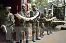 Kenya tiến hành tiêu hủy ngà voi số lượng lớn nhất từ trước tới nay